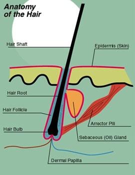 Alopecia - Anatomia firului de par uman